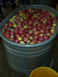 Apples in the wash